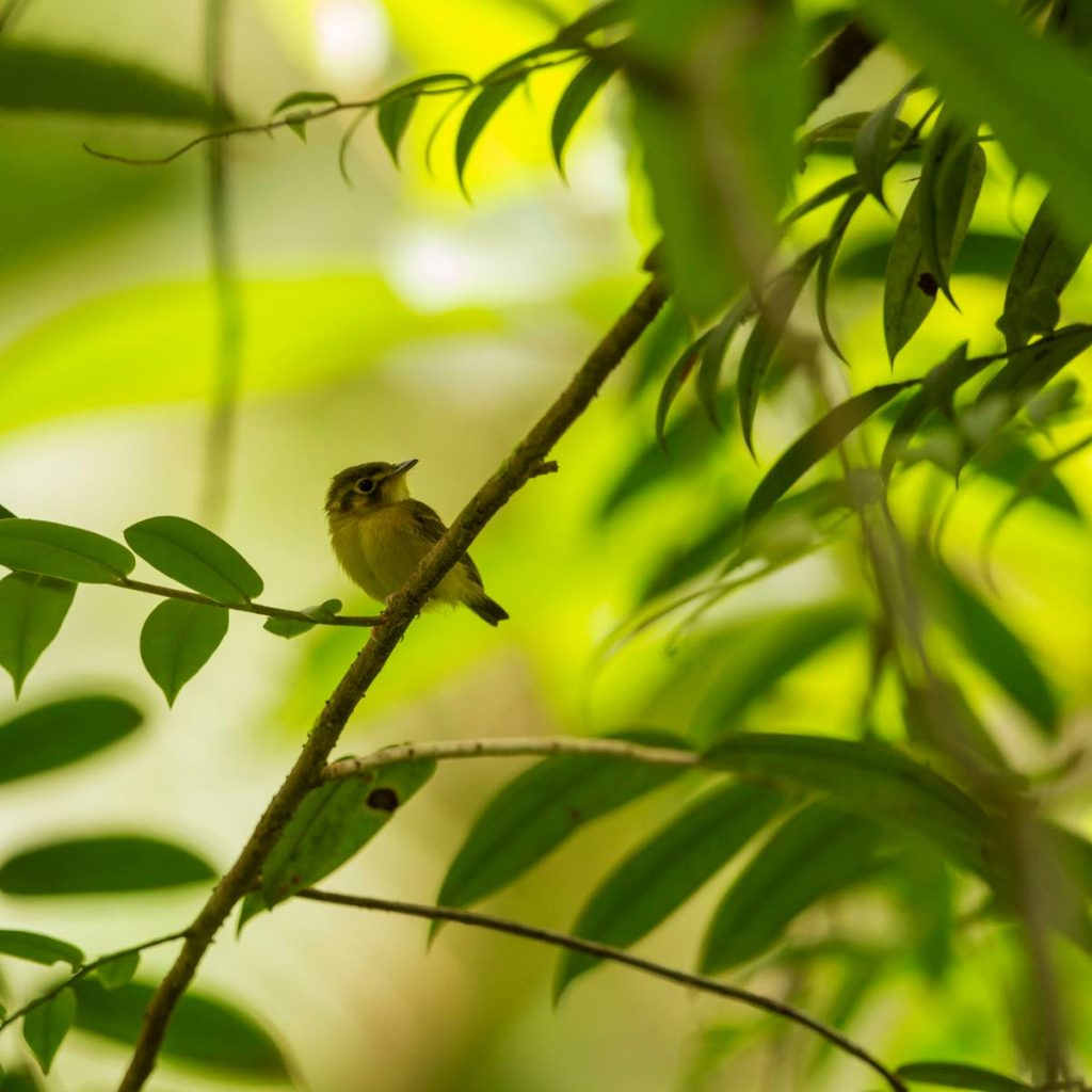 White-throated spadebills often perch motionless above the forest floor, waiting for any sign of movement. PHOTO BY FARAAZ ABDOOL  -