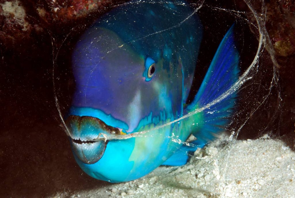Image showing the teeth of a Pacific parrotfish.  - The Ocean Agency, Coral Reef Image Bank