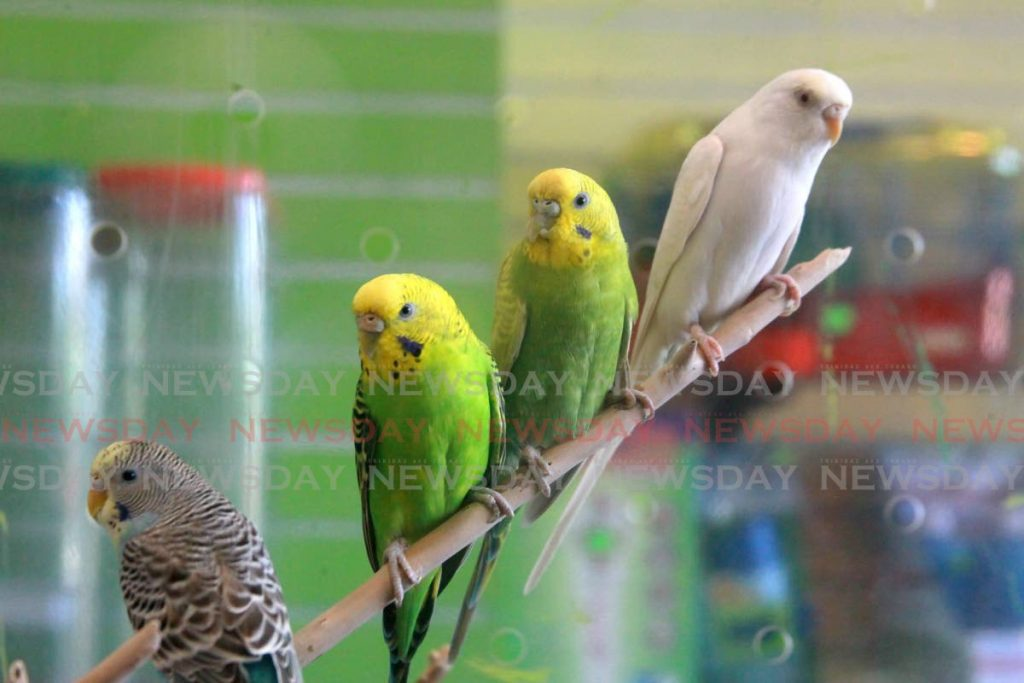 Budgerigar, commonly referred to as 'budgies', perched on a branch at Funky Pets. - ROGER JACOB