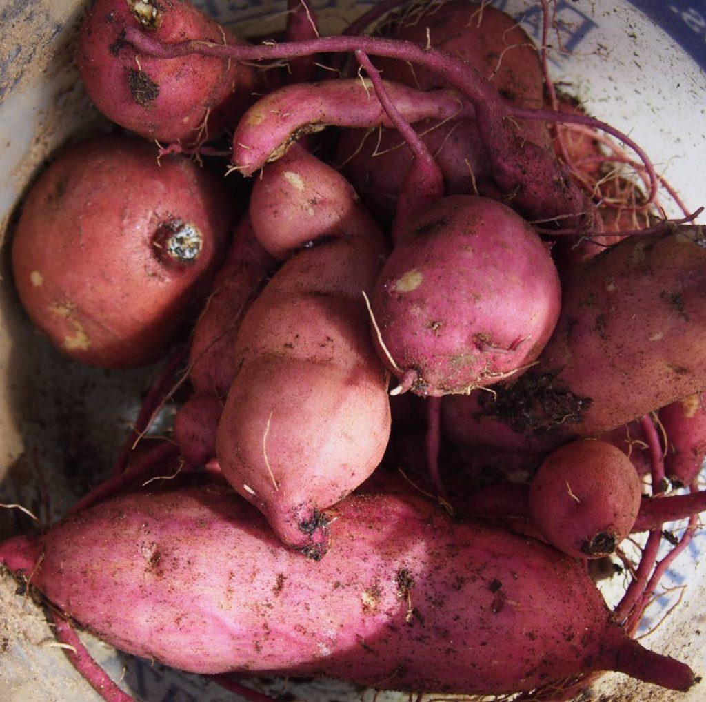 Sweet potatoes -