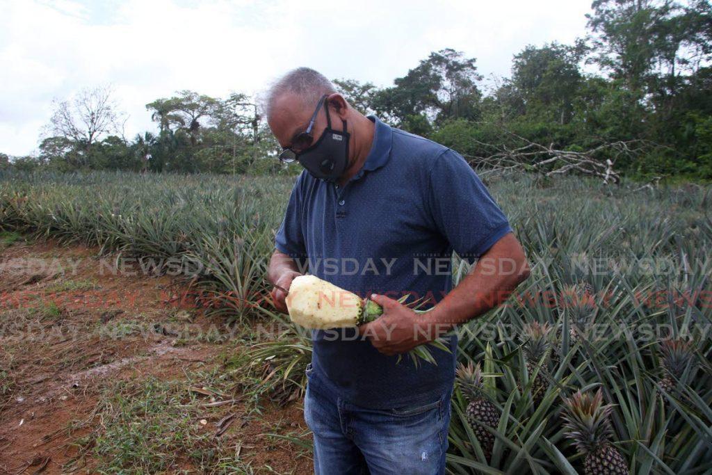 Petani nanas Lachram Gayah, mengupas nanas roti gula yang ditanam di tanah pertaniannya di Tableland, Rio Claro.  - Angelo Marcelle