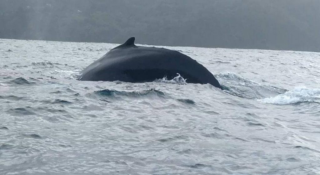 A humpback whale 3/4 mile off Charlotteville. -