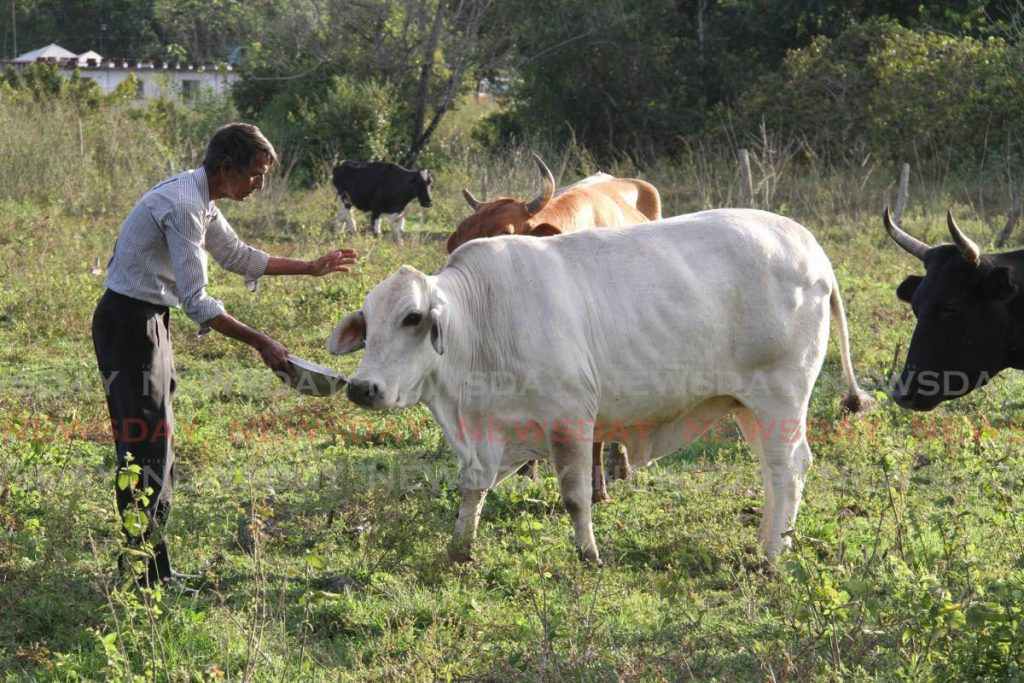 Dairy farmer and president of the T&T Cattle Farmers Association Chris Medford feeds one of his cows at his Carlsen Field farm. - Angelo Marcelle