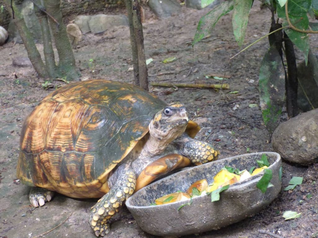The yellow-footed tortoise is just one species of animal in a conservation breeding programme managed by Corbin Local Wildlife Park. Other species include the endangered tatou (nine-banded armadillo).  Photo courtesy Corbin Local Wildlife Park