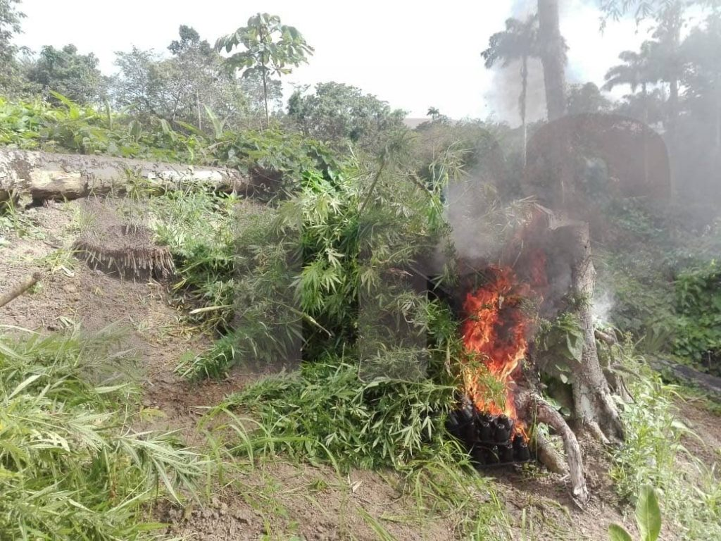 UP IN FLAMES:  Marijuana trees burn after police came across a field on Wednesday during an eradication exercise. PHOTO COURTESY TTPS - ttps