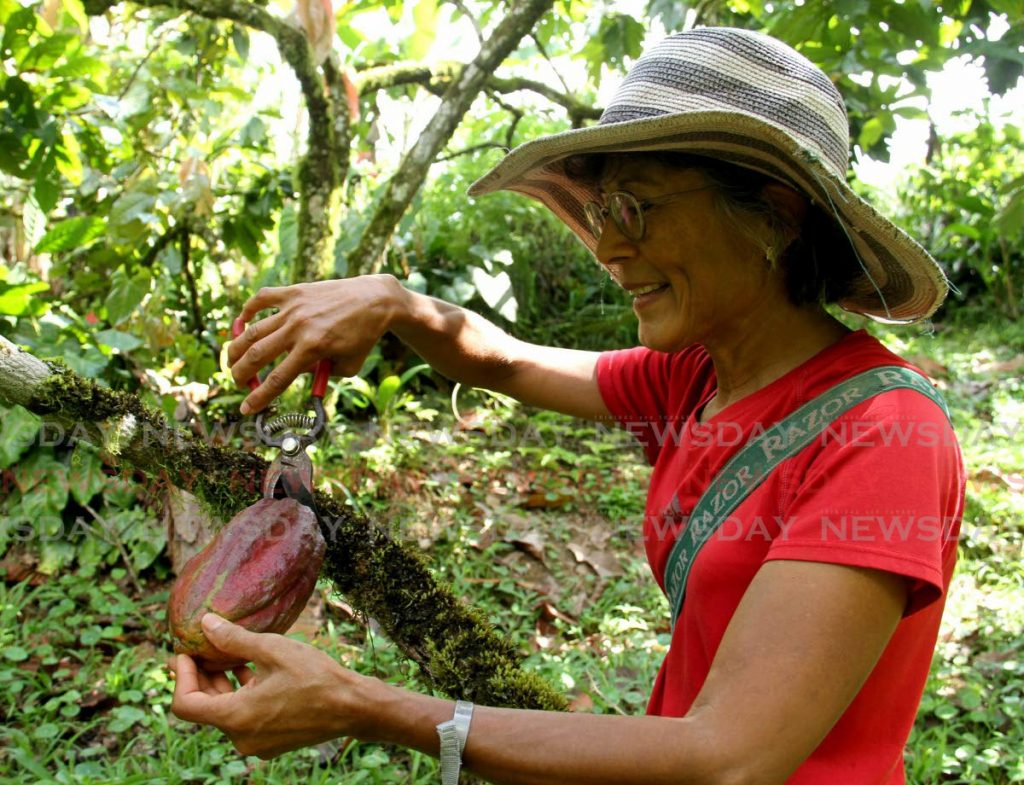 Dr Stephanie Omardeen uses a nipper to remove a cocoa pod from a tree at her estate in Brasso Seco. Photo by Ayanna Kinsale -