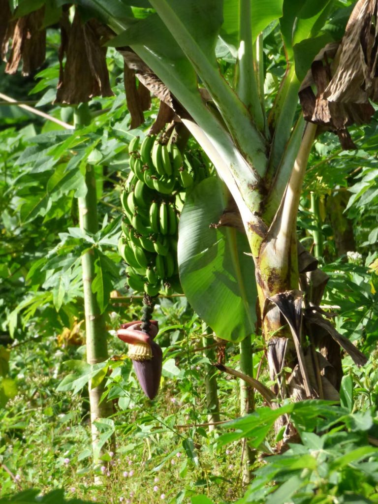Since the Corbin Local Wildlife Park started planting its fruiting forest last July, a few crops including the banana trees have started to bear.  - Corbin Local Wildlife Park