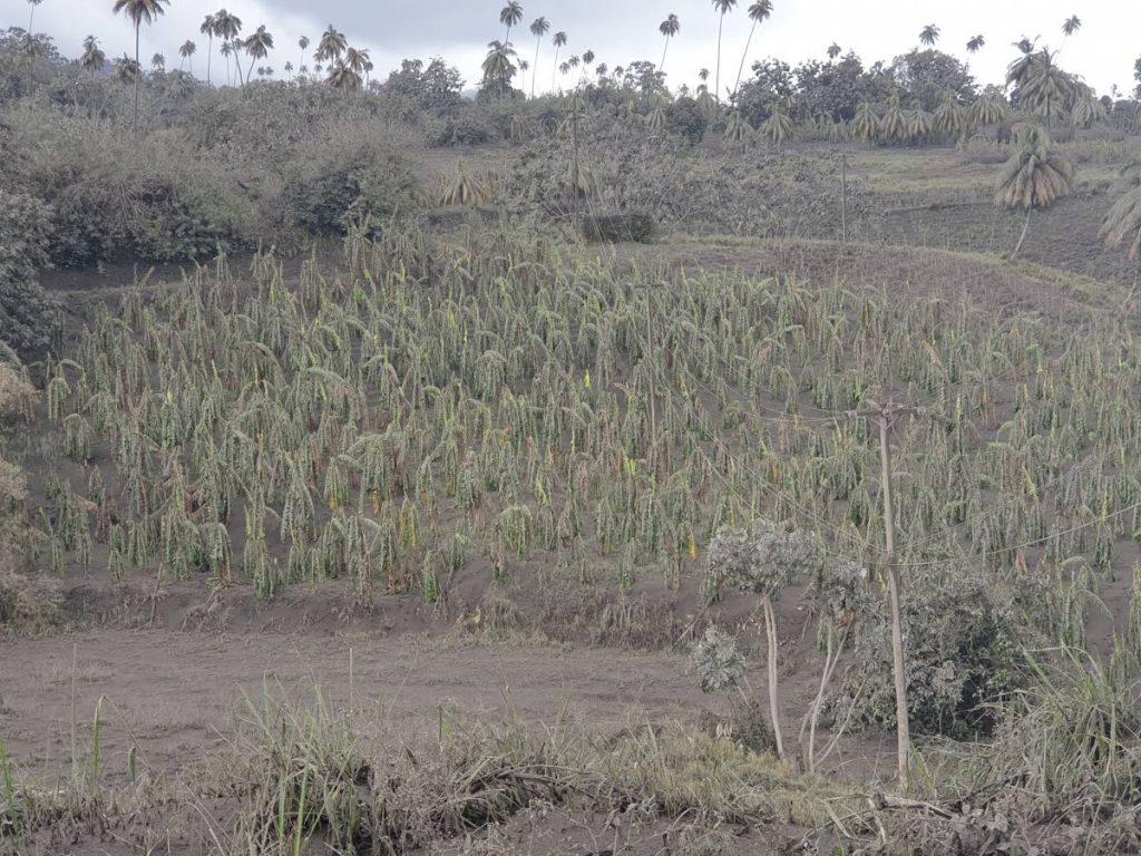 A banana field in the red zone, just north of Georgetown, ST Vincent. The leaves of the plants are bending under the weight of the ash. PHOTO COURTESY SEARCHLIGHT NEWSPAPER, ST VINCENT