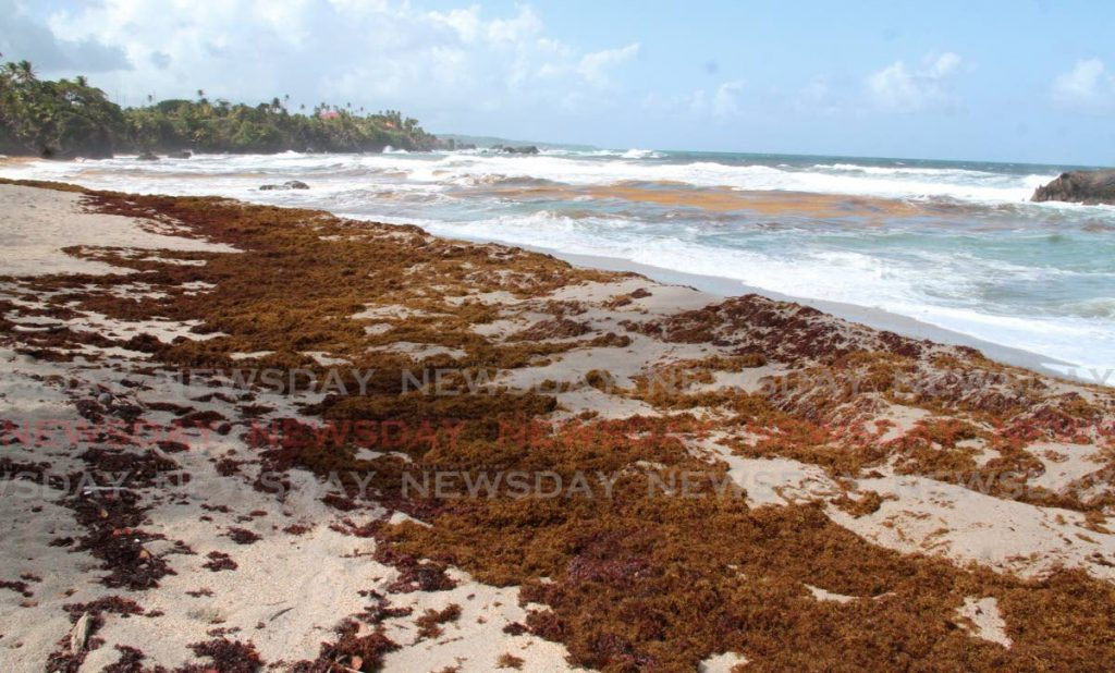 Sargassum seaweed the shores of the northeast coast, including this one in Toco. Photo by Angelo Marcelle