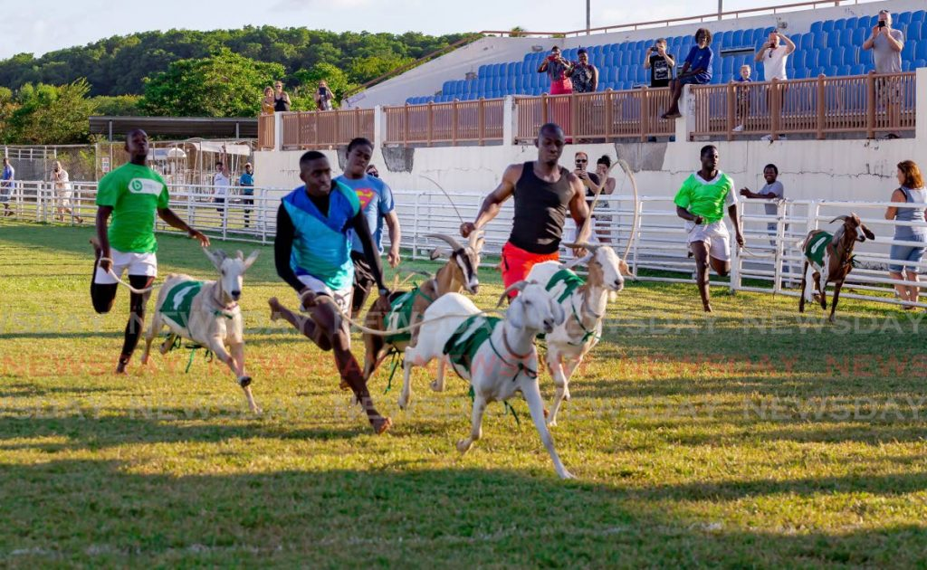 White Goat races to first place at the Tobago Africans and Goat Owners' Goat, Crab Race and Calypso Day on March 1, 2020. It was one of the last events for goat racing in Tobago before the covid19 pandemic. Photo by David Reid  -