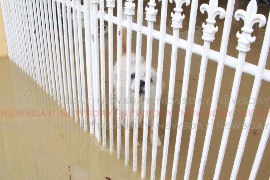 Milo the Pompek looked visibly shaken by flooding at his home but seemed to be standing his ground at the Anandsingh residence, Salvatory Street, Sangre Grande, on Tuesday. Photo by Roger Jacob
