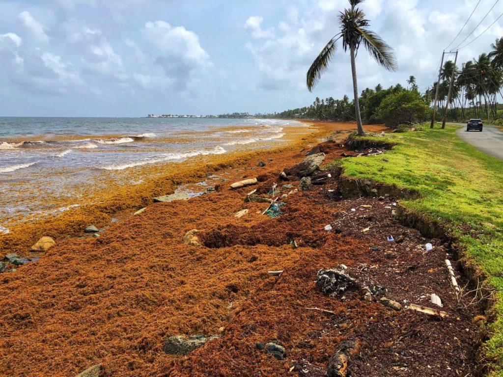 Washed-up sargassum on Little Rockley Bay, Tobago. -