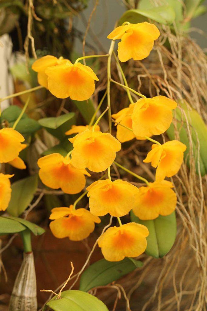 Growing dendrobium orchids in Trinidad and Tobago