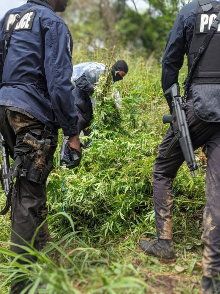 Police from the North Eastern Division stand near a pile of marijuana trees found in Maracas in october last year.  - PHOTO COURTESY TTPS