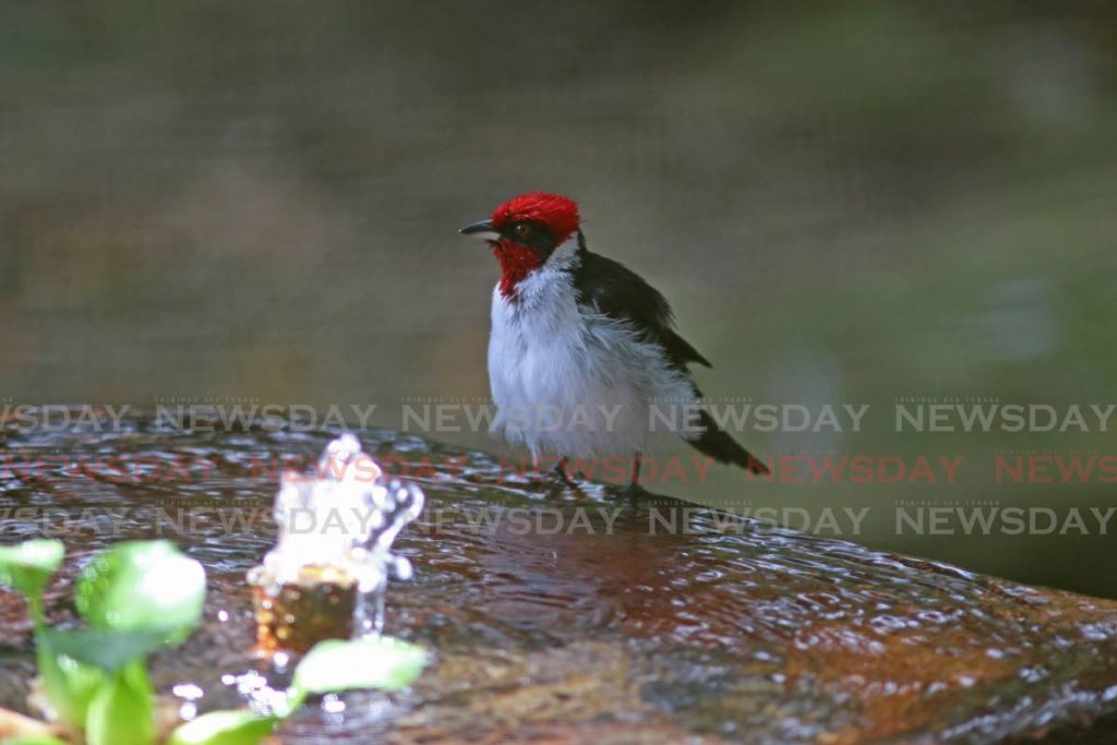 The Masked Cardinal in a pond at the Point-a-Pierre Wild Fowl Trust - Photo by Marvin Hamilton