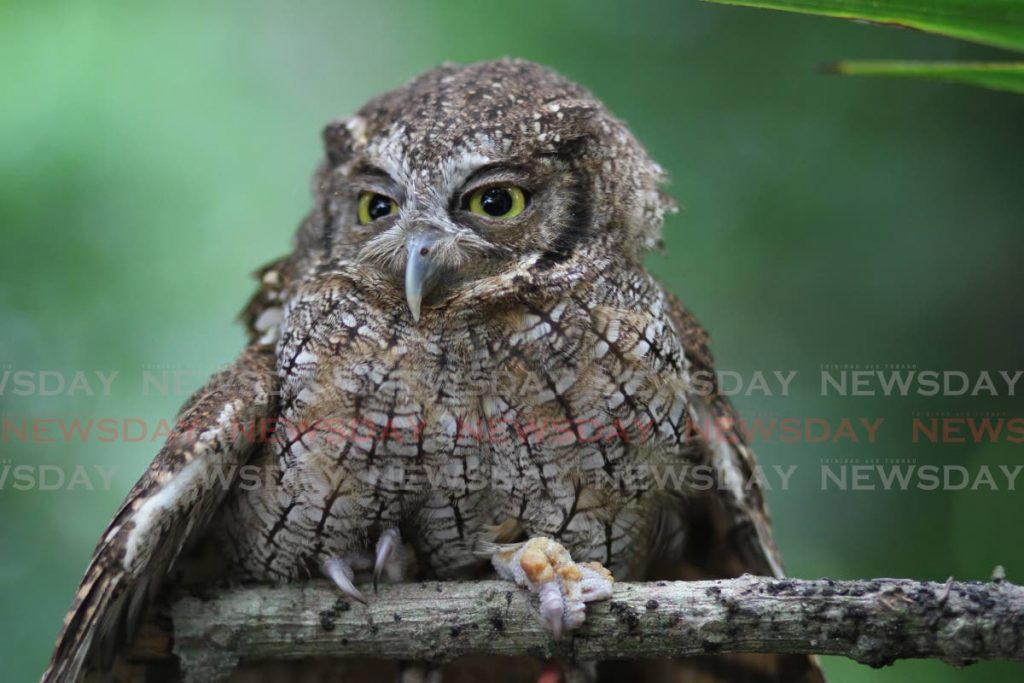 Tropical screech owls is noisier than other owl species found in TT. Many times you can hear them but you can't see them because their camoflage is so amazing. - Marvin Hamilton