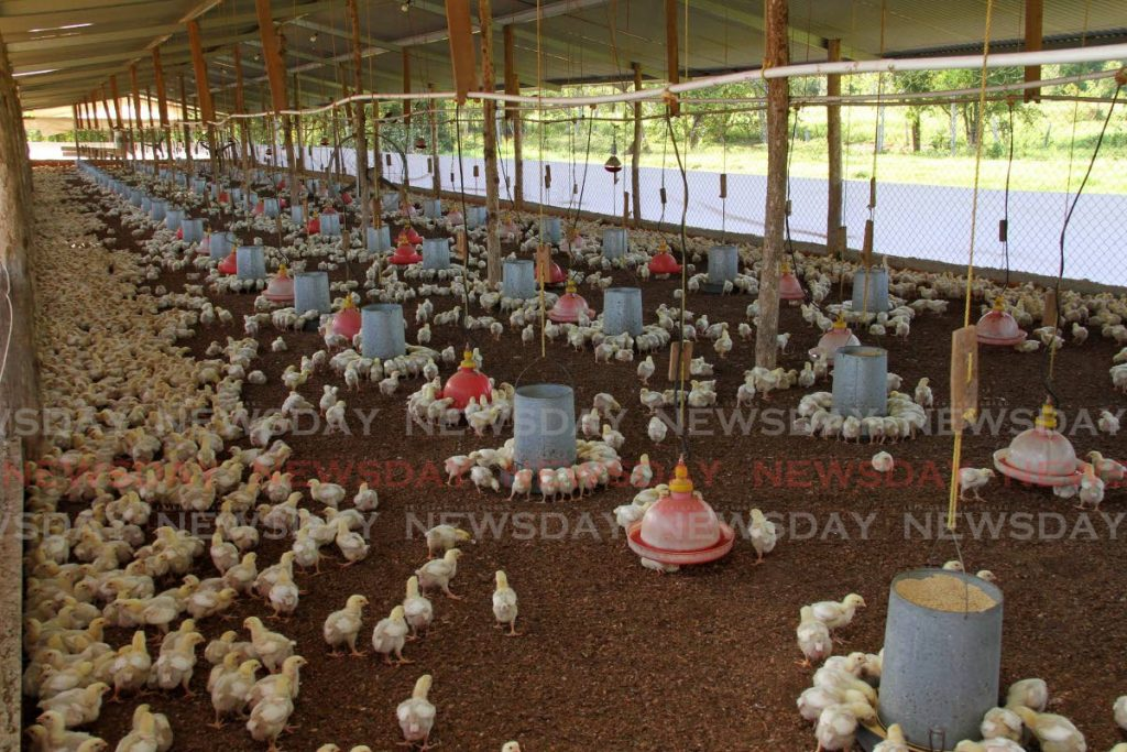 Chickens feed at a Carlsen Field farm. - Photo by Angelo Marcelle