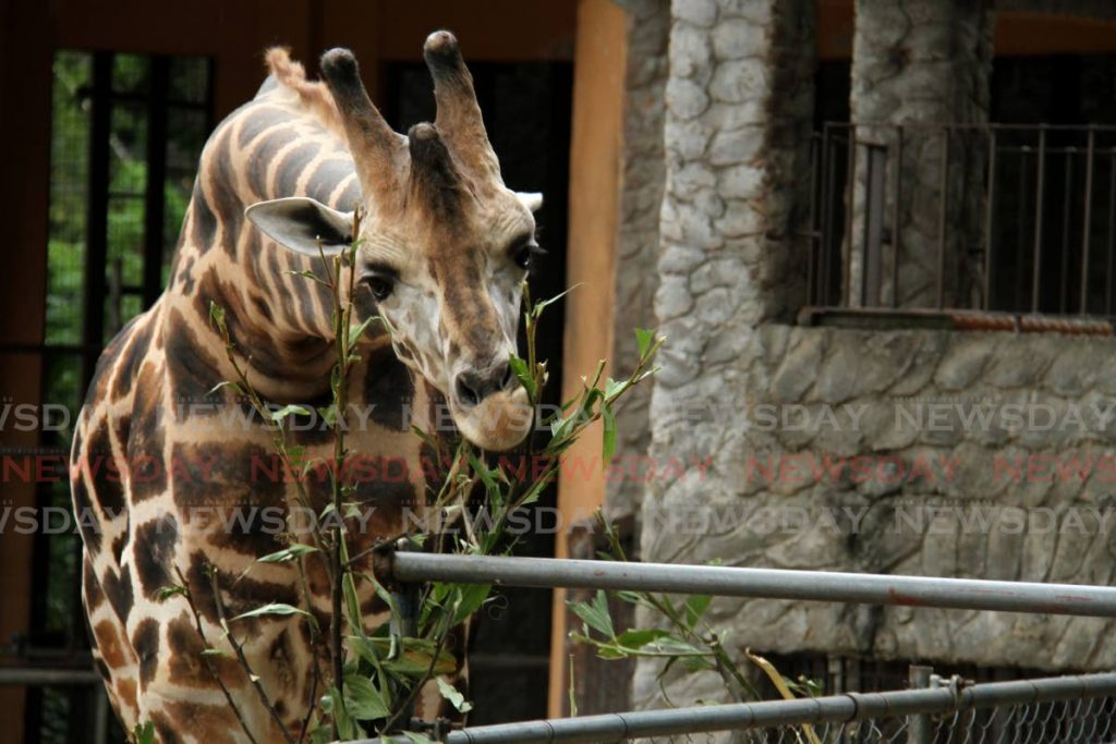 GENTLE GIANT: Mandela, one of two giraffes living at the Emperor Valley Zoo is seen in this file photo. The Zoo alerted the public via its FB page on Sunday to an incident in which a drone was flown in the giraffe's enclosure, startling the animals.  -