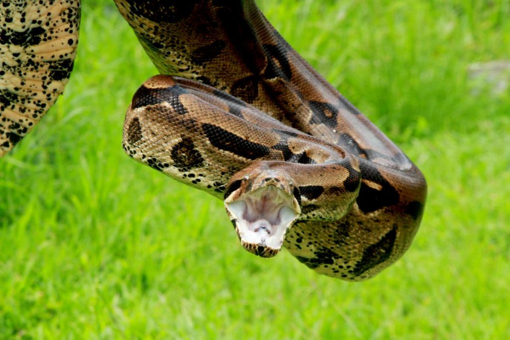 Although the boa constrictor is non-poisonous, the snake has two rows of teeth and can give a powerful bite.  - Photo by Marvin Hamilton