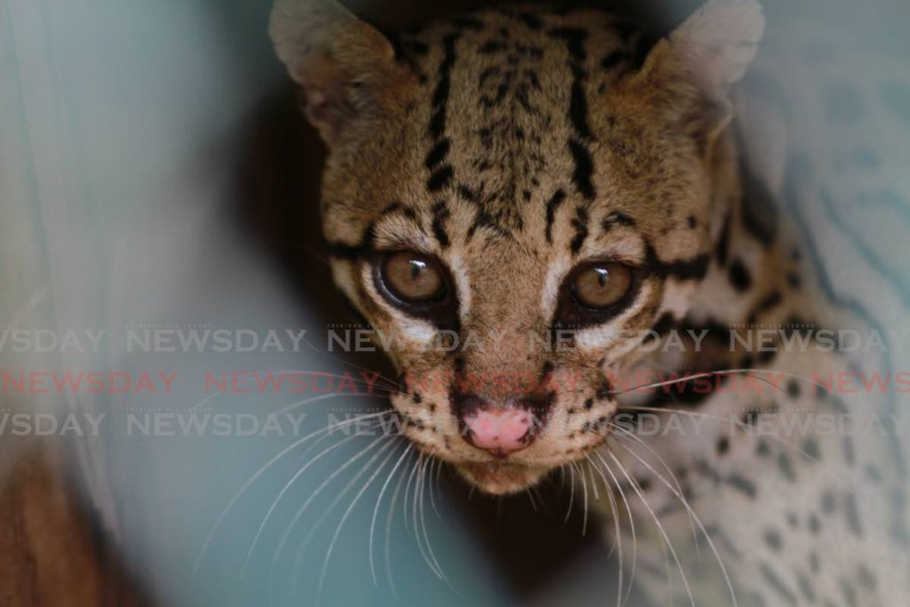 An ocelot at the El Socorro Centre for Wildlife Conservation in Freeport.  - Photo by Marvin Hamilton