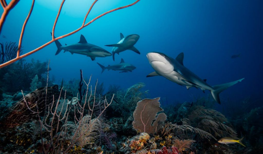 Reef sharks in Jardines de la Reina, Cuba, one of the few places where sharks can still be found in healthy abundances in the Caribbean.  - Ocean Image Bank