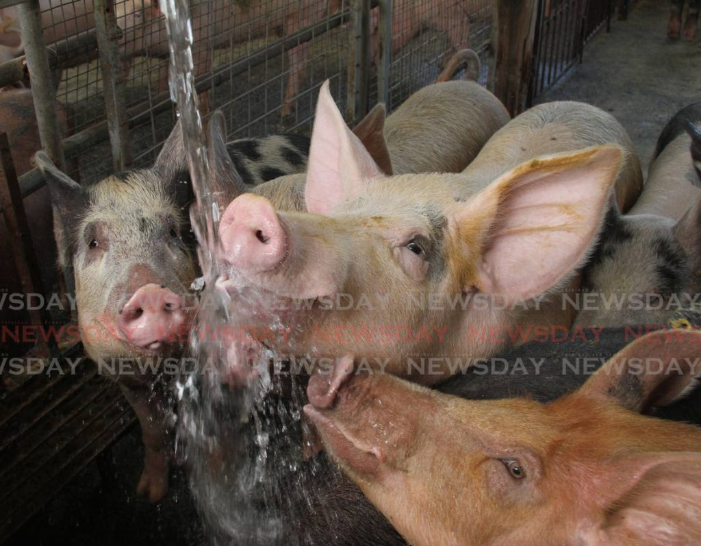 Pigs drink water at the Wallerfield farm of Brian Maturine. Water is extremely important for raising healthy pigs, but a steady supply of water is a worry for small scale farmers. - Photo by Angelo Marcelle