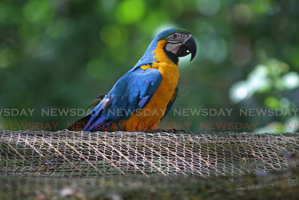 A blue-and-yellow macaw at the Pointe-a-Pierre Wildfowl Trust where rescued birds are cared for. - Photo by Marvin Hamilton