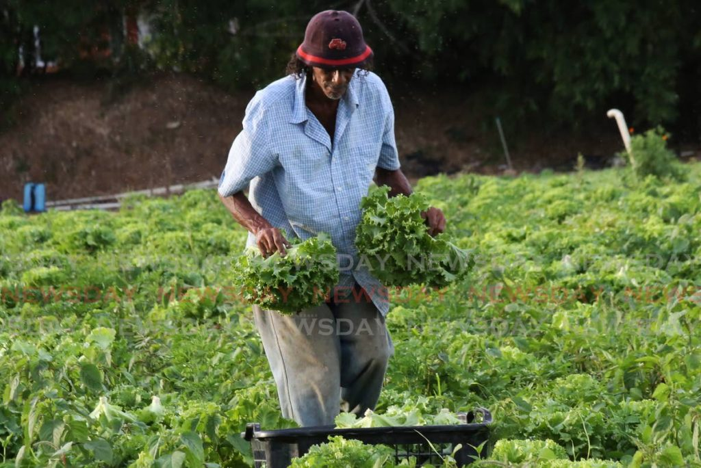 A farmer tends to his lettuce crop in Bon Air West. Government allocated a $500 million agriculture stimulus package during the pandemic. - Photo by Sureash Cholai