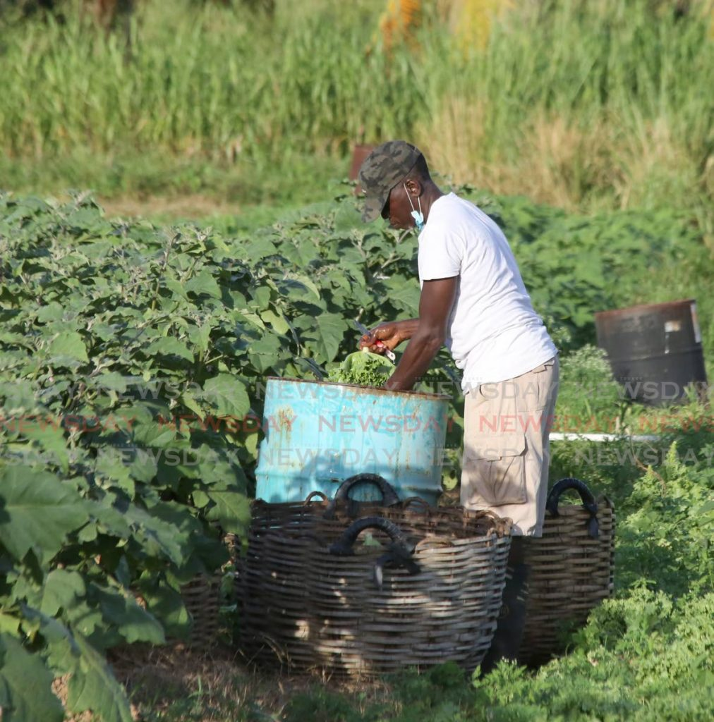 A farmer tends to a lettuce crop in Bon Air West in the Bon Air/Lopinot constituency. The agriculture ministry has a series offreetrainingprogrammesincrop production and management. - File photo/Sureash Cholai