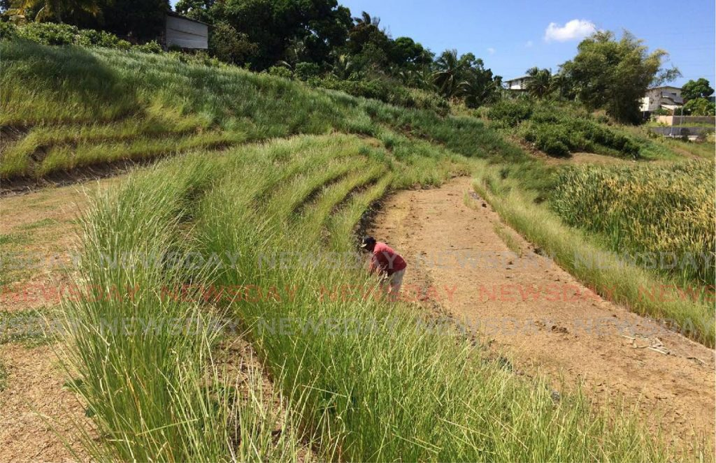 Vetiver grass being planted in contours along a hillside. - Photo courtesy I Am Movement