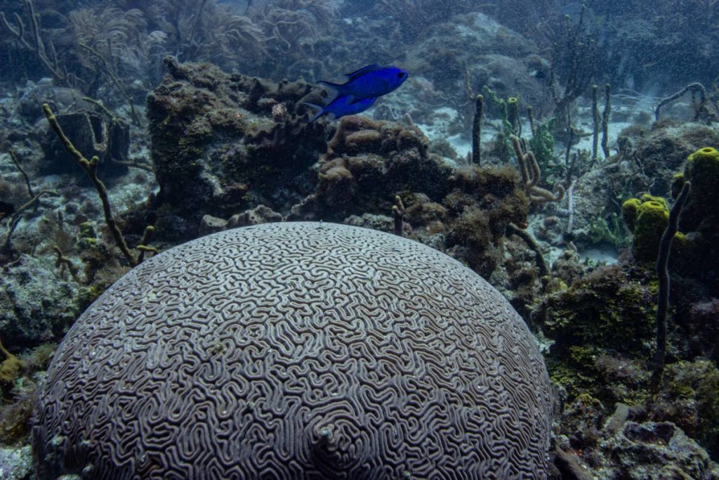 Brain corals are just one of the  coral species that are found around the world. When you look at a coral, the structure that you see is actuallyhundreds of thousands of tiny organisms called coral polyps. -
