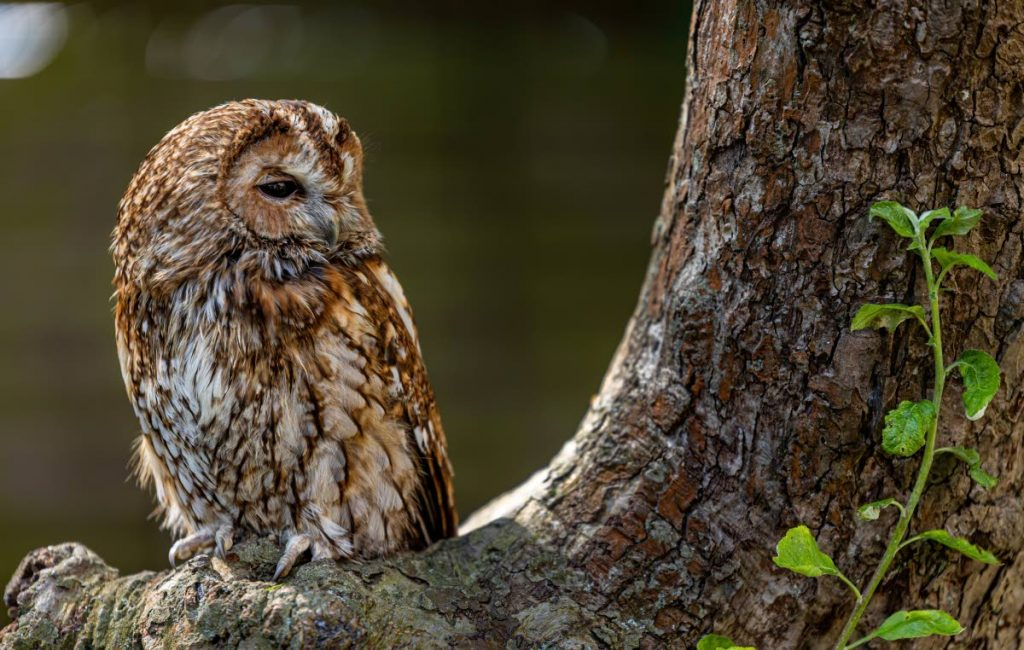 Tawny owl perched on a tree. Photo courtesy Max Pixel. -