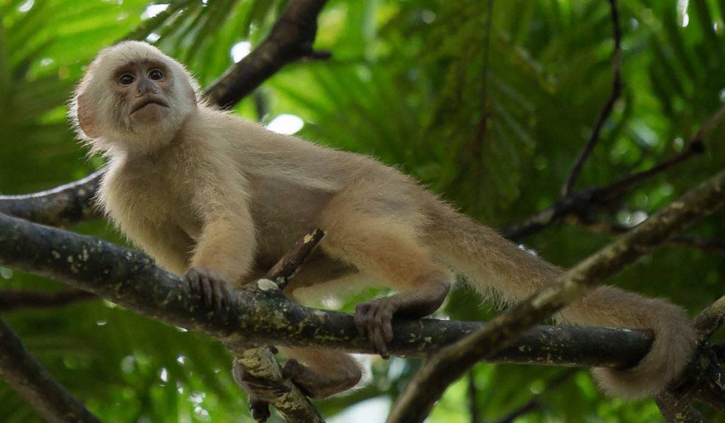 Trinidad's white-fronted capuchins are lighter in colour than those in South America..  - Photo courtesy El Socorro Centre for Wildlife Conservation