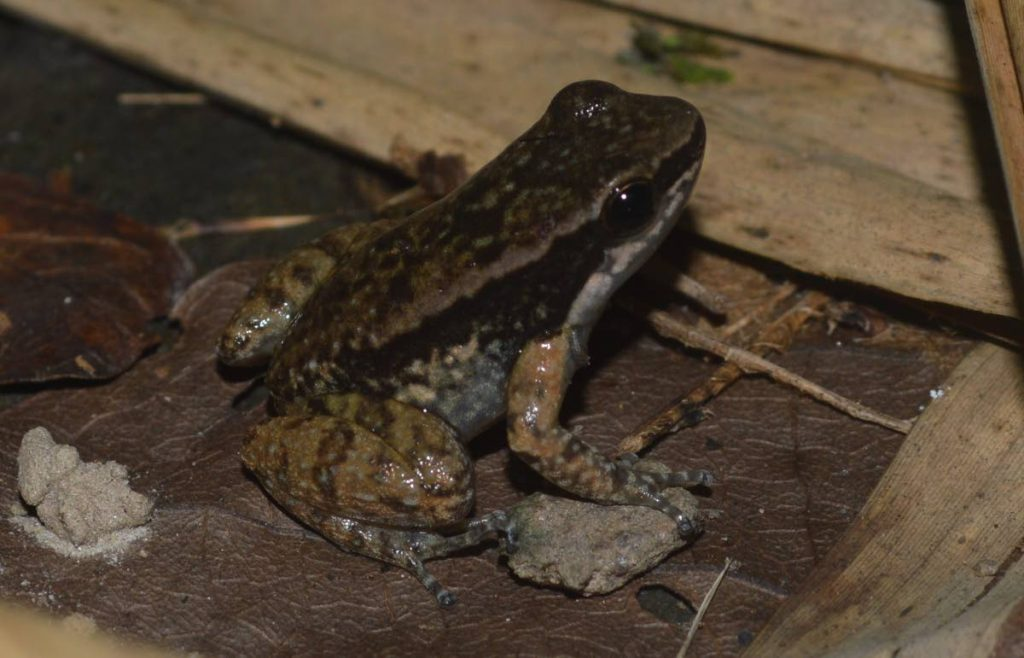 While scientists once believed the Trinidad stream frog was also found in Venezuela genetic work proved they were not which made them Trinidad's only endemic frog species. - Photo courtesy Renoir Auguste